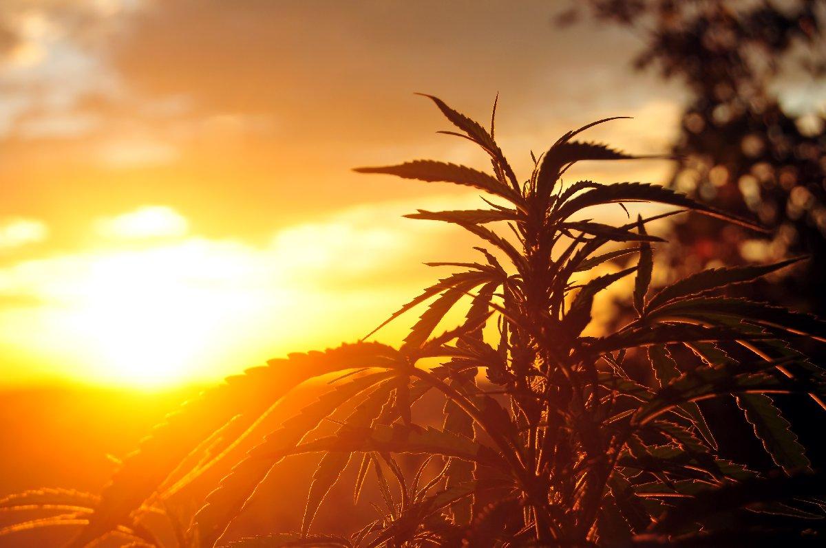 cannabis strains for sleep improvement
